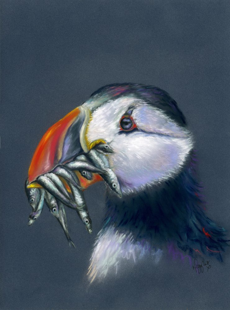 Puffin canvas prints